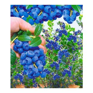 Trauben-Heidelbeeren Reka Blue 2 Pflanzen Vaccinium corymbosum