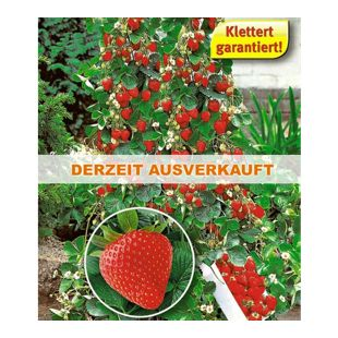 Kletter-Erdbeere Hummi 6 Pflanzen