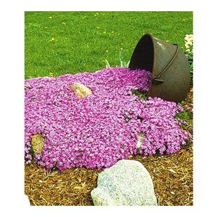 Teppichphlox Emerald Pink winterharter Bodendecker 9 Pflanzen
