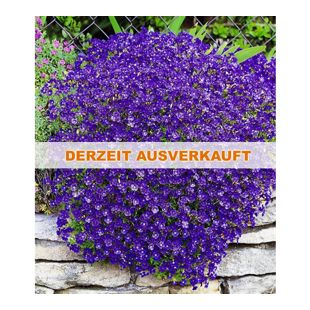 Winterharter Bodendecker Blaukissen Cascade Blue 9 Pflanzen Aubrieta