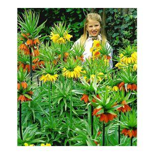 Kaiserkronen-Kollektion 4 orange und 2 gelbe Blumenzwiebel vertreibt Wühlmäuse