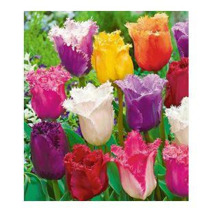 Crispa-Tulpen Spring Blend Mischung 40 Zwiebeln