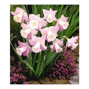 Narzisse Rosa Trompete 30 Zwiebeln Narcissus