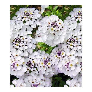 Iberis Masterpiece 9 Pflanzen Schleifenblume weiß winterhart