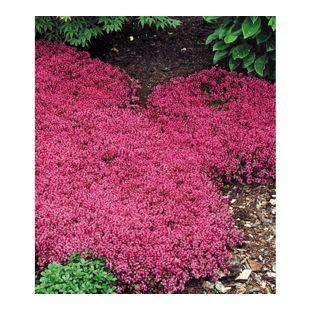Bodendecker-Thymian 9 Pflanzen Thymus serpyllum immergrün winterhart