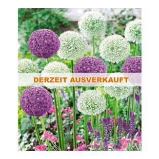 Riesen-Allium DUO 9 Zwiebeln Zierlauch weiß und blau Allium Ambassador u Mount E