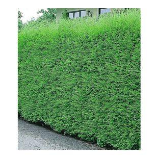 Leyland-Zypressen-Hecke 5 Pflanzen Cupressocyparis leylandii