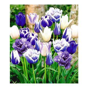 Tulpen-Mix Perfect Partners Blue Blend 30 Zwiebeln Tulipa Mischung