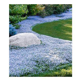 Winterharter Bodendecker Isotoma 'Blue Foot'®;9 Pflanzen