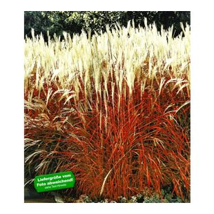 Ziergras 'Indian Summer' Chinagras, Chinaschilf, 3 Pflanze Miscanthus sinensis