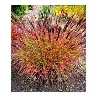 """Chinaschilf """"Red Chief"""" 3 Pflanzen Miscanthus sinensis winterhart"""