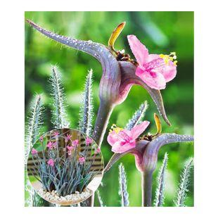 Winterharte Stauden-Rarität Polarlicht, 3 Pflanzen Setcreacea hirsuta Swifttale