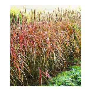 Miscanthus-Hecke Chinaschilf, 3 Pflanzen