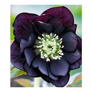 Gefüllte Christrose Black Swan 3 Pflanzen Helleborus