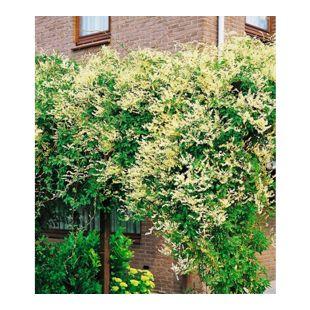 Schling-Knöterich Schnellwachsende Kletterpflanze, 3 Pflanzen Polygonum aubertii