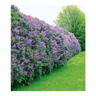 Flieder-Hecke,3 Pflanzen