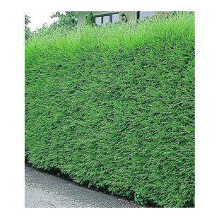 Leyland-Zypressen-Hecke, 10 Pflanzen