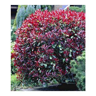 Photinia-Hecke 'Red Robin', 5 Pflanzen