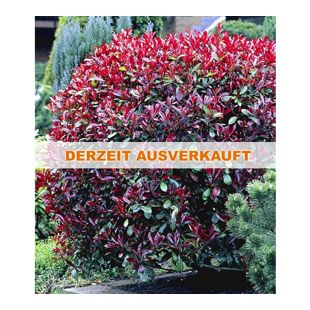 Photinia-Hecke 'Red Robin', 10 Pflanzen