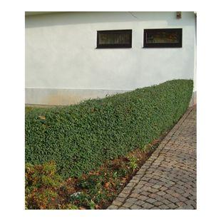 Schwarzgrüner Liguster 'Atrovirens', 10 Pflanzen Ligustrum vulgare Atrovirens Heckenpflanze