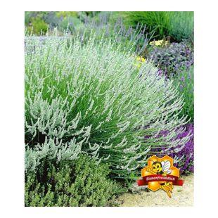 Weißer Lavendel, 3 Pflanzen Lavandula