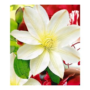 Waldrebe Clematis 'Madame Le Coultre', 1 Pflanze