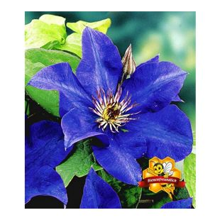 Blaue Clematis 'The President' Waldrebe, 1 Pflanze