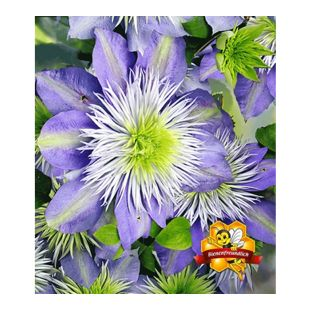 Waldrebe Clematis 'Crystal Fountain TM', 1 Pflanze