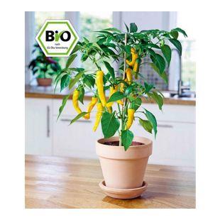 BIO-Zitronen-Chili 1 Pflanze Capsicum
