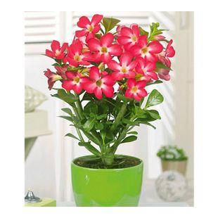 Wüsten-Rose 'Rot',1 Pflanze