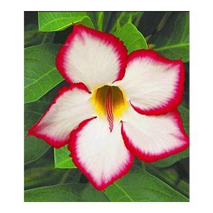 Wüstenrose 'Noble Concubine', 1 Pflanze Adenium obesum