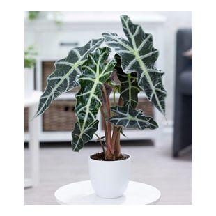 Alocasia Polly,1 Pflanze
