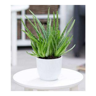 Verschönen Sie Ihre Wohnung durch Zimmerpflanzen von GartenXXL