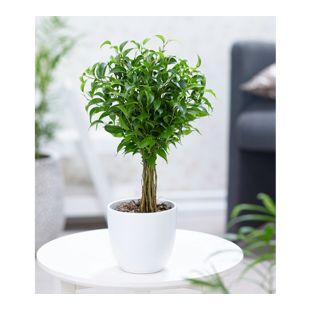 "Fikus am Stamm ""Babilatos"",1 Pflanze"