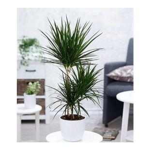 "Dracena ""Marginata"" 100 cm hoch,1 Pflanze"
