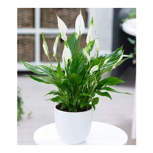Spathiphyllum,1 Pflanze