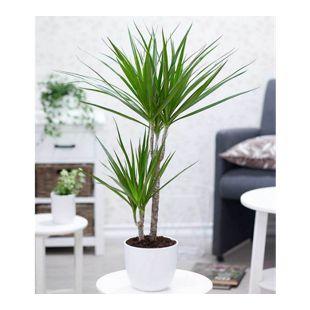 "Dracena ""Marginata"" ca. 70 cm hoch,1 Pflanze"