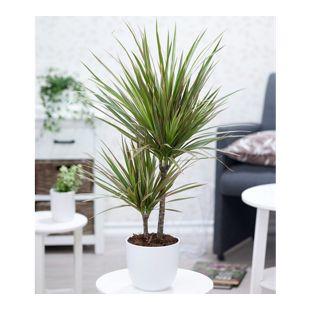 """Dracena """"Marginata Bicolor"""" ca. 60 cm hoch,1 Pflanze"""