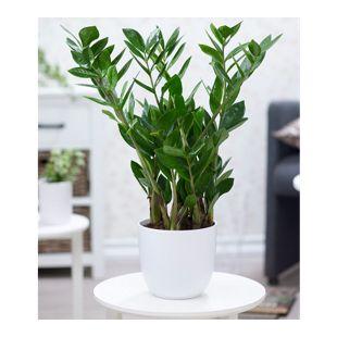 Zamioculcas ca. 40 cm hoch,1 Pflanze