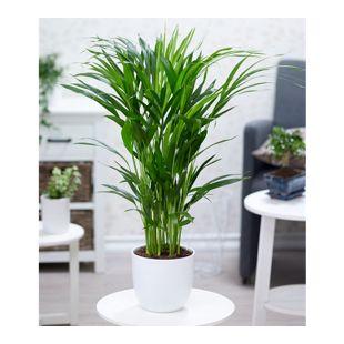 Areca Palme ca. 50 cm hoch,1 Pflanze