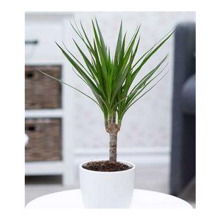 "Dracena ""Marginata"" ca. 40 cm hoch,1 Pflanze"