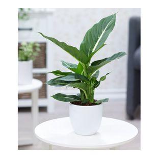 "Dieffenbachie ""Green Magic"",1 Pflanze"