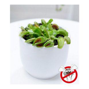 """Fleischfressende Pflanze """"Venusfliegenfalle"""",1 Pflanze"""