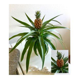 """Ananas """"Corona"""",1 Pflanze"""