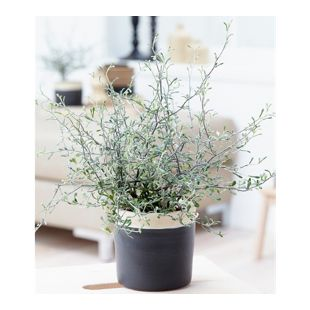 "Maori® Corokia cotoneaster ""Bonsai Green"",1 Pflanze"