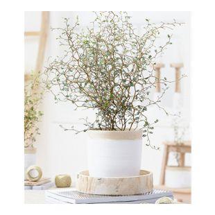 "Maori® Sophora Cotoneaster ""Little Baby"",1 Pflanze"