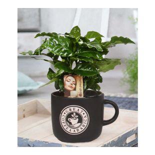 Coffea Arabica im Barista Keramiktopf, 1Pflanze