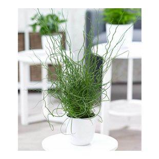 Liebeslocke Juncus Spiralis,1 Pflanze
