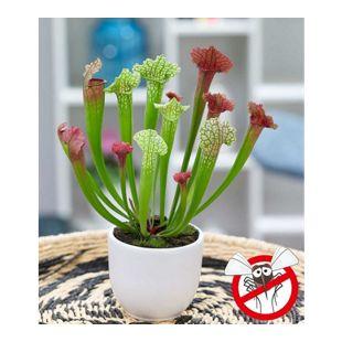 """Schlauchpflanze """"Jutathip Soper"""",1 Pflanze"""