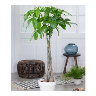 """Pachira """"Aquatica"""" ca. 100 cm hoch,1 Pflanze"""